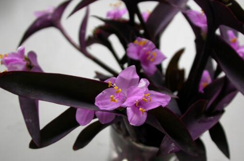 紫竹梅有毒吗