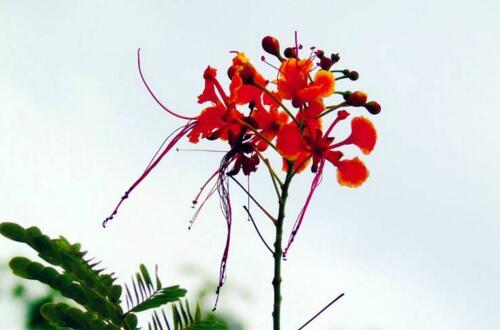 金凤花盆栽怎么养护,五个技巧让金凤花花开满盆