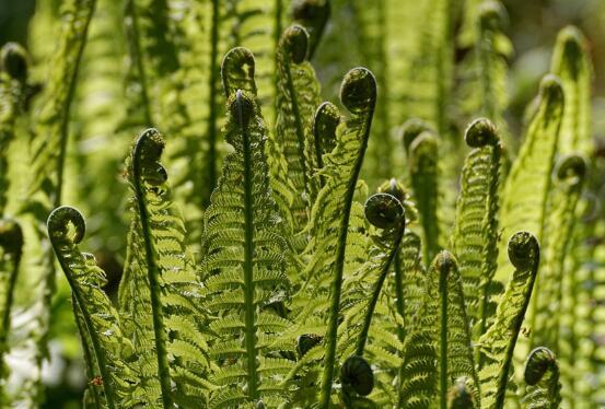 荚果蕨的作用有哪些,荚果蕨的好处与食用禁忌