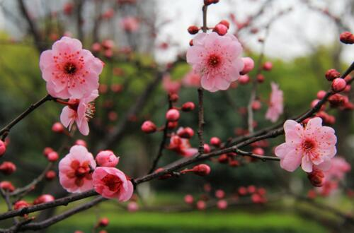榆叶梅的花语及作用,花语欣欣向荣/榆叶梅种仁能入药