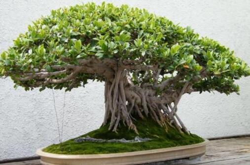 榕树盆景的四季养护技巧,详解榕树春夏秋冬养护方法