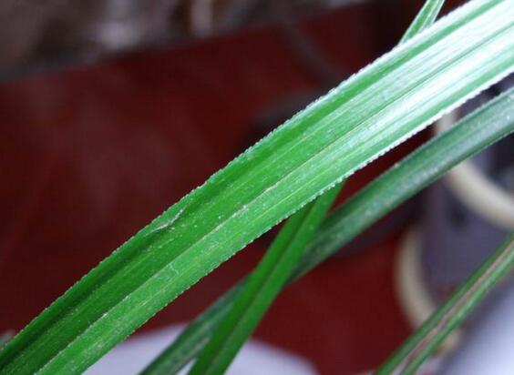 寒兰和春兰的区别,春兰叶边缘呈齿状寒兰没有