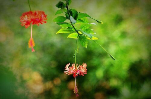 吊灯扶桑的作用,可观赏可入药全年花开不断