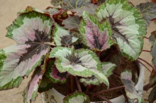 蟆叶秋海棠怎么繁殖,扦插分株皆可多采用叶插法