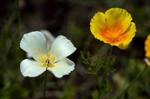花菱草种子怎么种,播种控温七天就能出苗