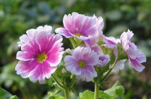 报春花的花语和传说,象征着快乐/感人肺腑的爱情故事