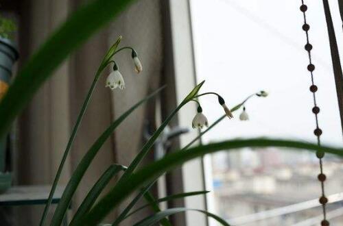 雪滴花的养殖方法和注意事项,控光控温合理繁殖