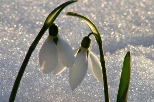 雪滴花怎么过冬,控水保温补光三招轻松度过寒冬