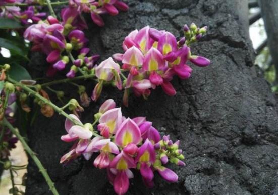 鸡血藤的常见品种,鸡血藤的好处与饮食禁忌