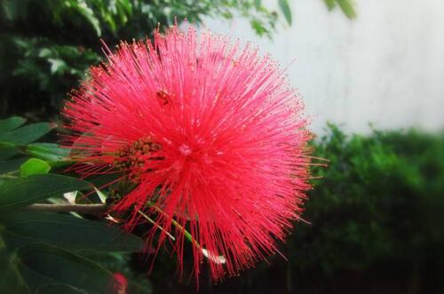 合欢花怎样播种,4个步骤教你播种出美丽的合欢花