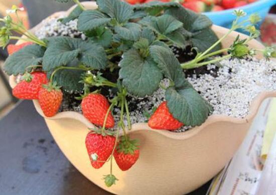 盆栽草莓怎么养,4个步骤教你如何上盆养殖美味的草莓