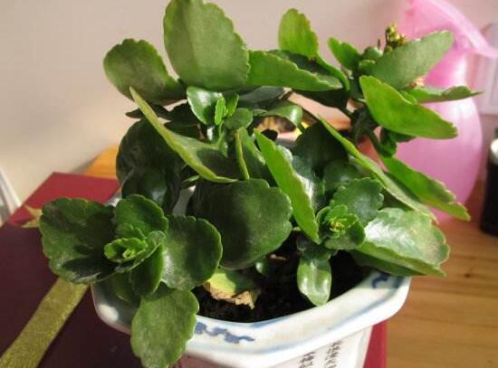 伽蓝菜的功效与作用,清热解毒/治疗感冒发热和肝炎肺炎