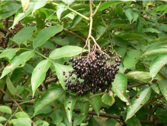 接骨木的繁殖方法,扦插播种使用频繁分株使用较少