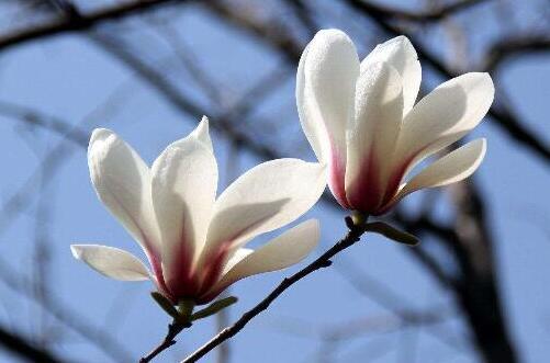 木兰什么时候开花,早春2~3月/第二次花期7~9月