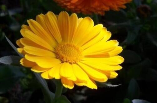 金盏菊的品种大全,详细介绍7大品种金盏菊