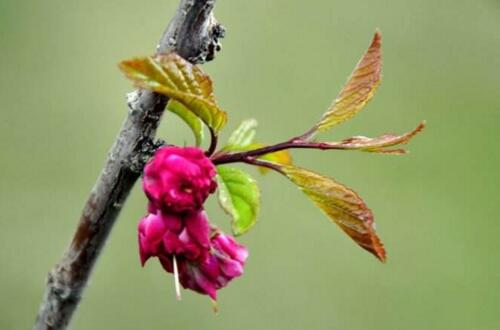 榆叶梅的虫害及防治方法,对症下药合理灭杀防治