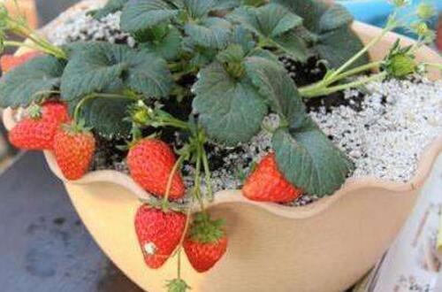 盆栽草莓怎么施肥,学会4个施肥要点养殖出美味草莓