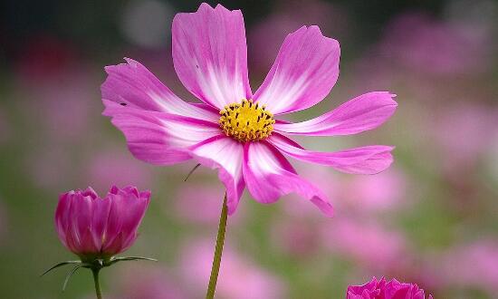 波斯菊一年开几次花,5~10月花期一年可开花两次