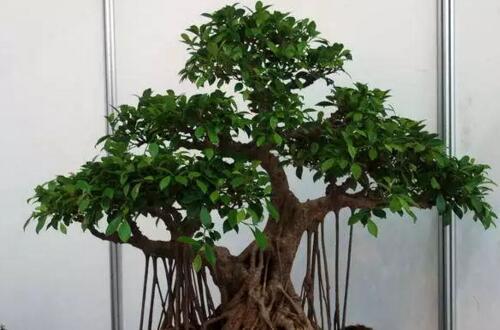 榕树盆景怎么修剪造型,5个修剪要点让榕树越长越好看