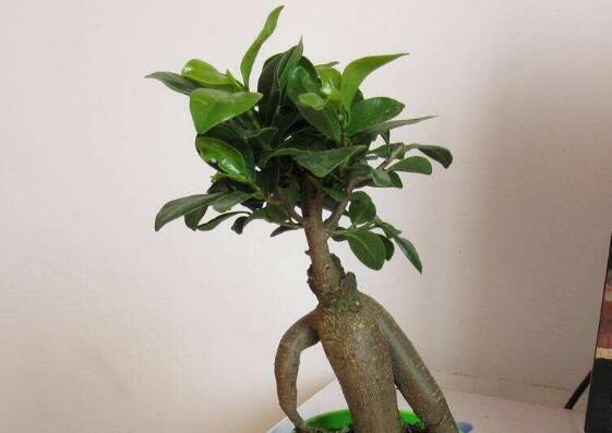 小榕树怎么让根变粗,增加肥力逐步换大盆养