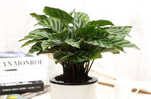 双线竹芋的价值,可美化环境净化空气
