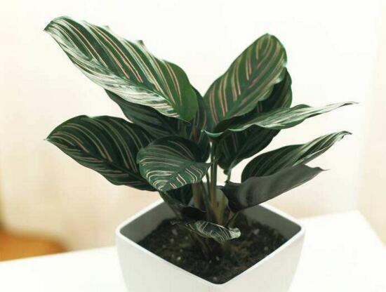 双线竹芋的价值,绿植屋可美化环境净化空气