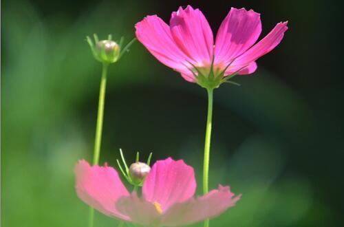 波斯菊和格桑花有什么区别,格桑花是统称比波斯菊品种范围广