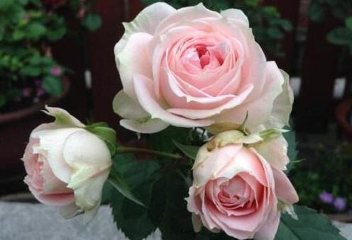 常年开花的花卉有哪些,盘点10种四季敞开的花卉