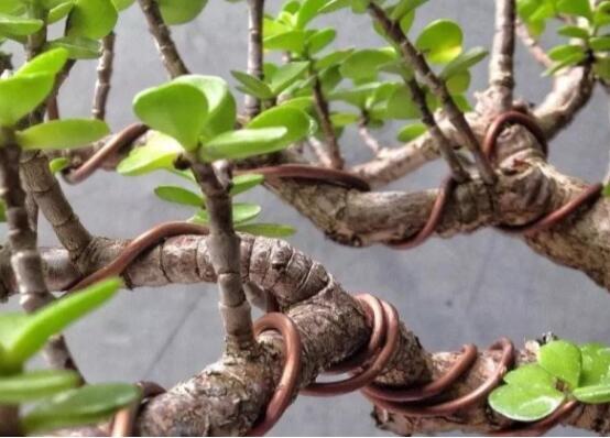 玉树修剪造型详解,5个方法教你剪出株型完美的玉树