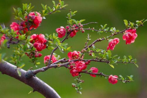 长寿海棠一年开几次,一年只开一次花/花期在2~5月