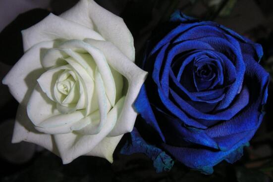 蓝色妖姬是干花吗_蓝色妖姬是玫瑰花吗,转基因品种/染了色的玫瑰或月季 - 花语网