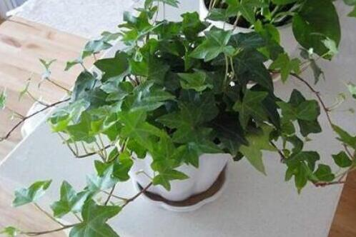 常春藤怎么修剪,5种修剪小技巧剪出完美常春藤盆景