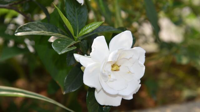 栀子花的养殖方法和注意事项