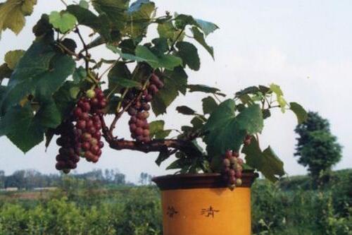 葡萄扦插繁殖方法图解,6个步骤让葡萄硕果累累