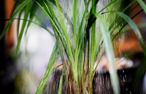 兰花一年四季浇水方法,环境气候决定浇水频率/夏季多浇