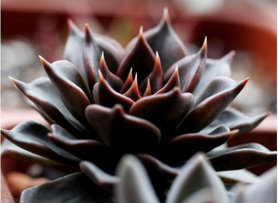23种世上最黑最黑的花,盘点世上紫到发黑的花朵