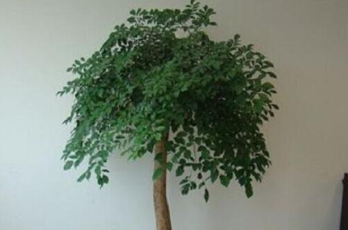 幸福树的主干怎么长粗