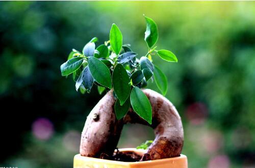 人参榕怎么让根长大,让人参榕根系粗壮的四个技巧