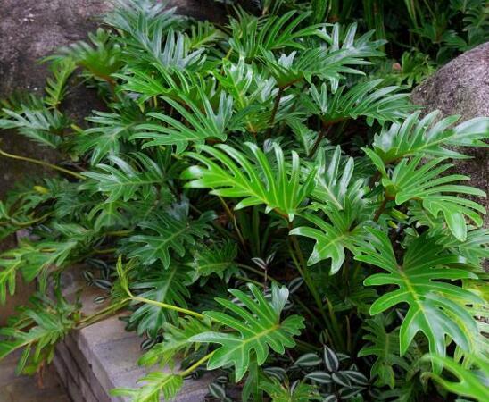 春羽多少天浇一次水,春绿植屋羽浇水的注意事项和养殖方法