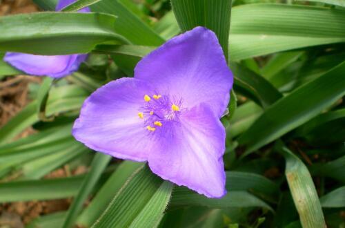 紫露草的养殖方法和注意事项