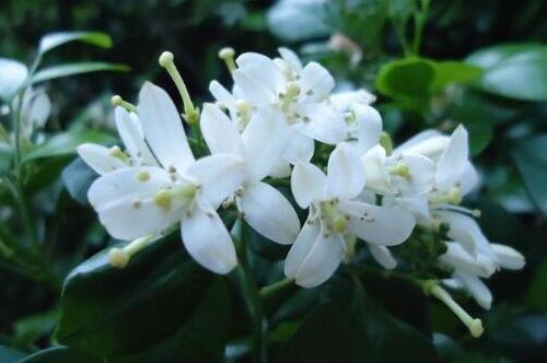 九里香小苗怎么养,6大要点养出枝繁叶茂的九里香