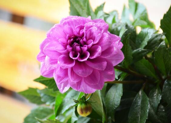 大丽花冬天能开吗,能开花/适当整枝补光控温就能绽放