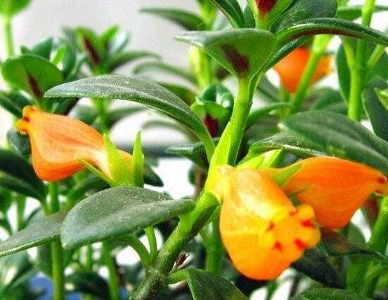 吊盆金�~花