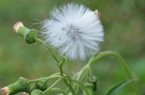 蒲公英和婆婆丁的区别,同一种植物没有区别