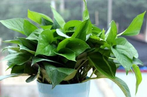 刚买的绿萝能不能分盆,可以/生长旺盛时期分盆最好