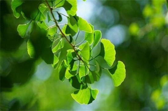 银杏叶片的功效与作用,可降低血压治肺虚咳喘还能促进代谢
