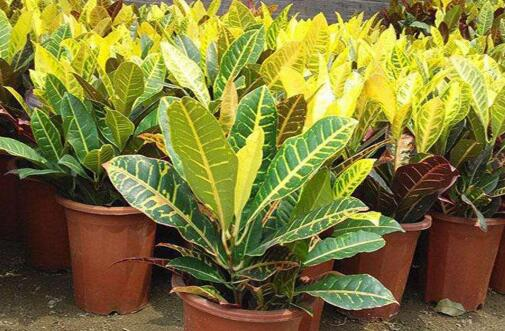 变叶木的养殖方法和注意事项,注意阳光充足掌握浇水频率