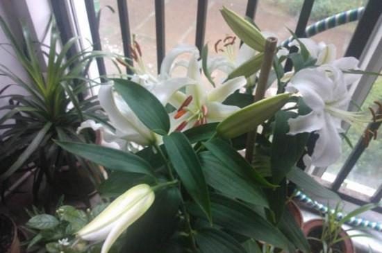百合花可以插枝吗,可以/百合花用枝条扦插成活的方法