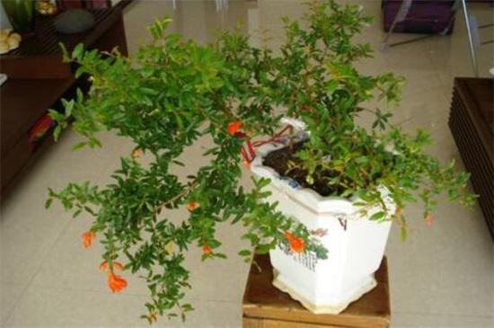 养殖盆栽石榴花的方法