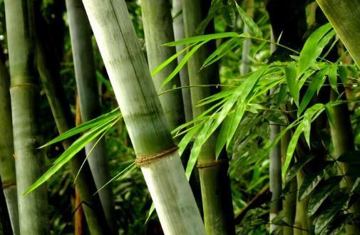 为什么说竹子招鬼,竹子性阴会沾染不干净东西